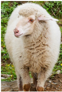 Indian Merino Sheep Wool